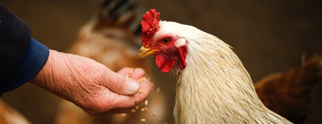 beste kippenhok voor thuis